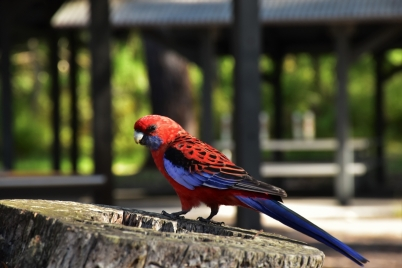 Crimson Rosella, Booderee National Park
