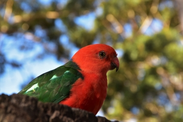 King Parrot, Booderee National Park