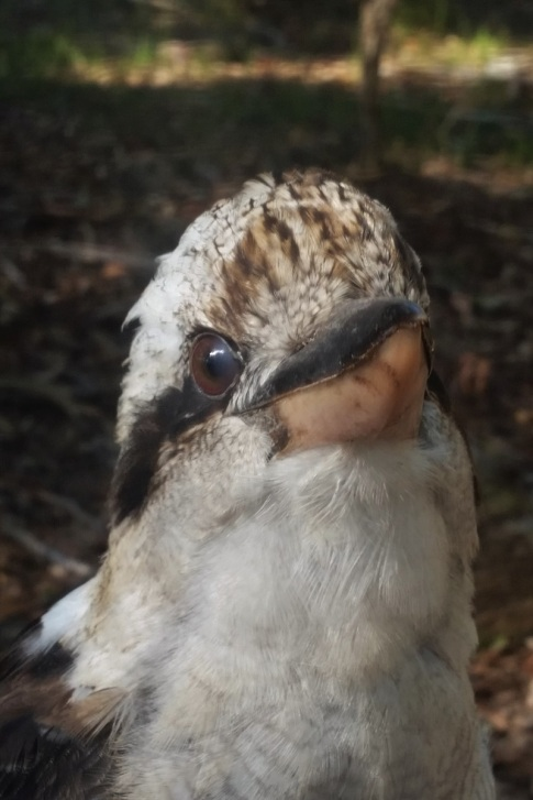 Kookaburra, Booderee National Park