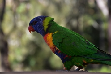 Rainbow Lorikeet, Booderee National Park