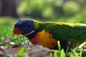 Booderee National Park, rainbow lorikeet