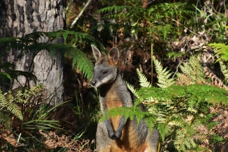 Wallaby, Booderee National Park