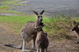 Kangaroos, South Durras
