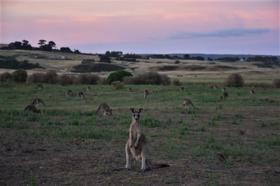 Great Ocean Road, kangaroo, sunset