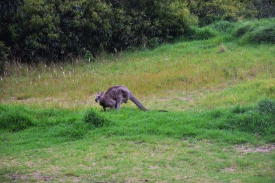 Great Ocean Road, kangaroo, Great Otway National Park