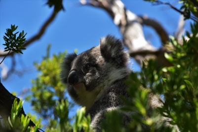 Great Ocean Road, koala, Great Otway National Park