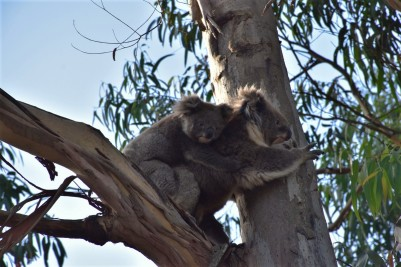Great Ocean Road, koalas, Great Otway National Park