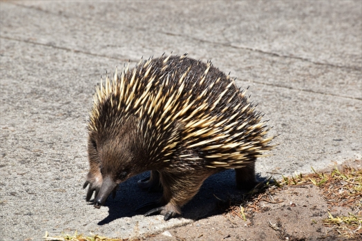Mornington Peninsula, echidna