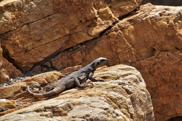 Death Valley, Mosaic Canyon, lizard