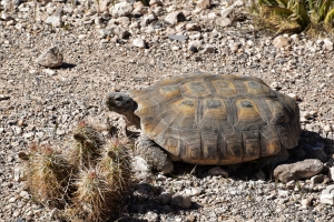 red-rock-canyon-tortoise