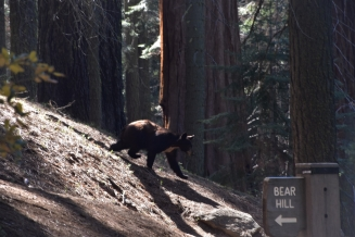 Sequoia National Park, black bear