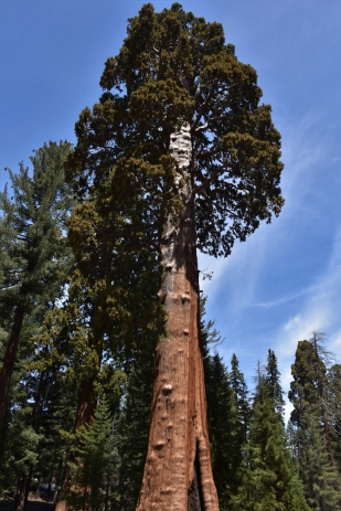 Sequoia National Park, Sentinel tree