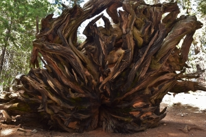 Sequoia National Park, roots