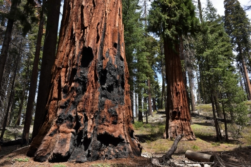 Sequoia National Park, trunk