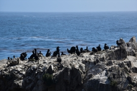 Cormorants, Point Lobos State Park