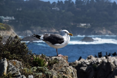 Point Lobos State Park, seagull