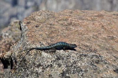 Yosemite, Four Mile Trail, lizard