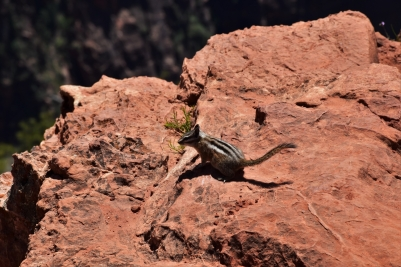 Zion, Observation Point, chipmunk