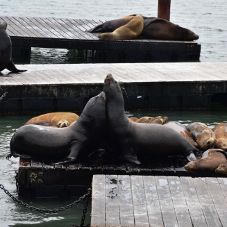 San Francisco, sea lions, Pier 39