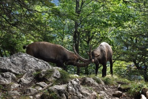 Creux du Van, ibex, fight