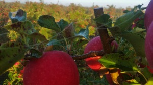farmwork-australia-apples-2