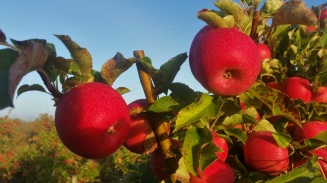 farmwork-australia-apples-3