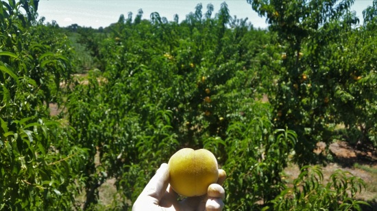 farmwork-australia-peach-picking