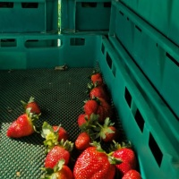 farmwork-australia-strawberries