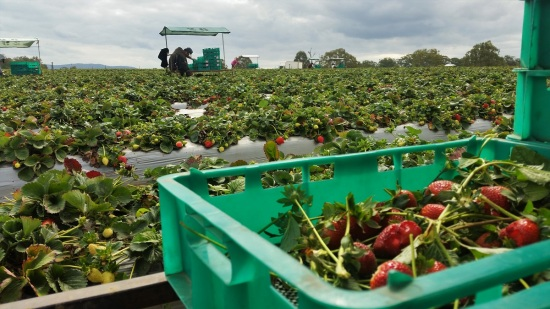 farmwork-australia-strawberry-picking
