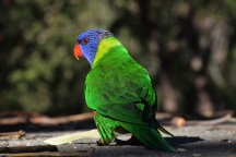 Rainbow lorikeet, Booderee National Park, Jervis Bay