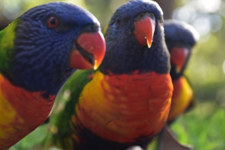 Booderee National Park, Rainbow lorikeets, Jervis Bay
