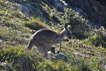 Kangaroo, Joey, South West rocks