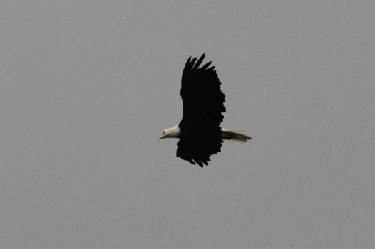 A bald eagle in the Gaspésie National Park