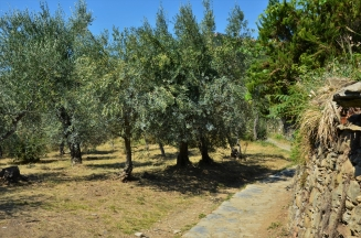 Cinque Terre hike, olive trees