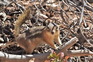 A chipmunk in Bryce Canyon