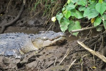 A saltwater crocodile on the shore of the Daintree River