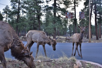 Elks close to the Grand Canyon