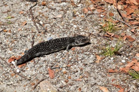 A lizard (or maybe a piece of tyre?) next to Albany, Western Australia