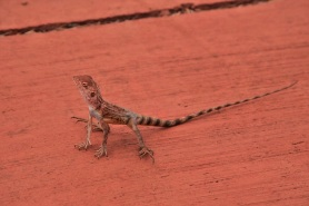 A proud-looking lizard in Karijini