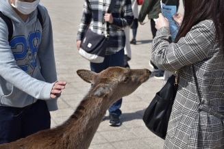 A hind on the island of Miyajima