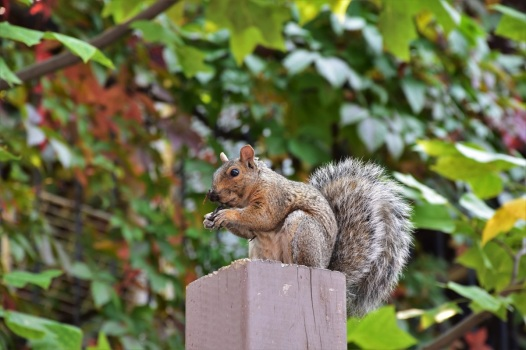 montreal-squirrel