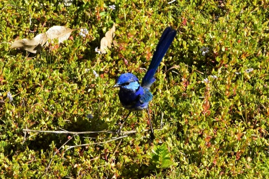 splendid-fairywren